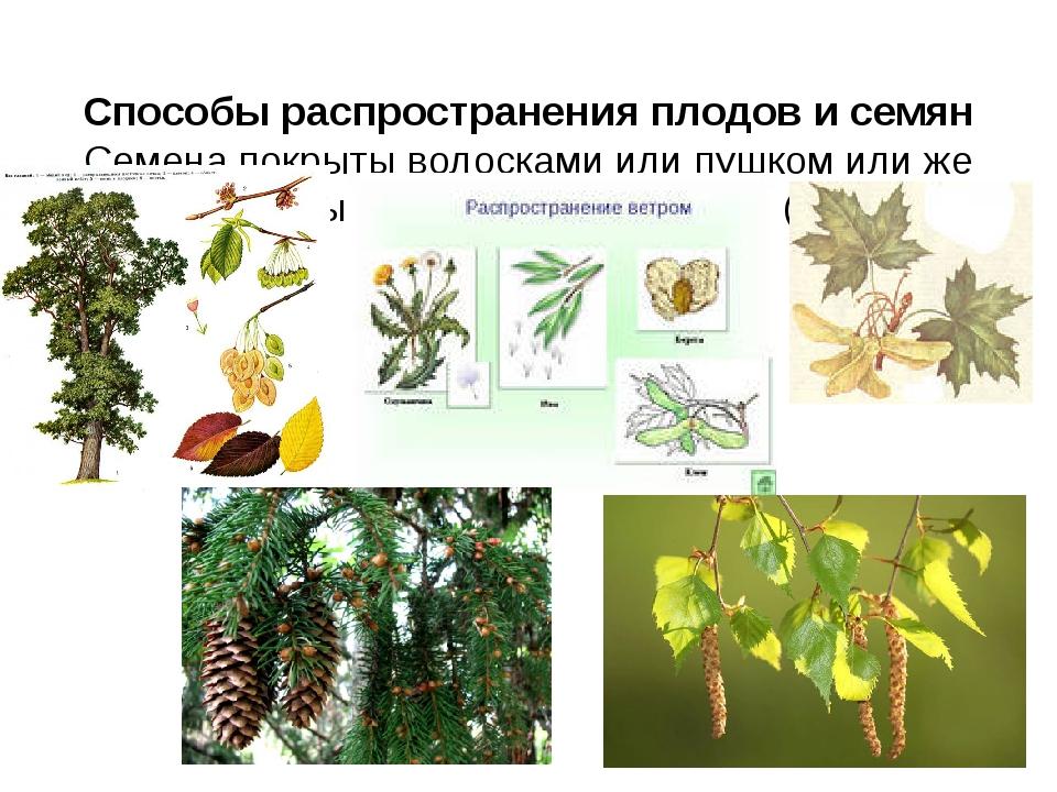 Способы распространения плодов и семян Семена покрыты волосками или пушком и...