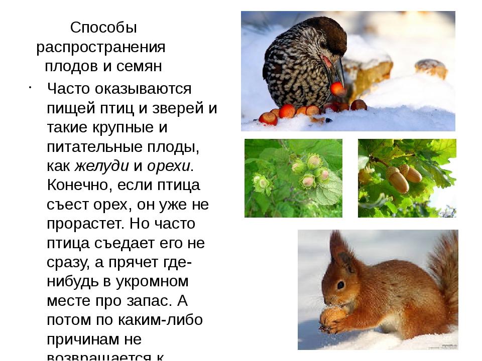 Способы распространения плодов и семян Часто оказываются пищей птиц и зверей...