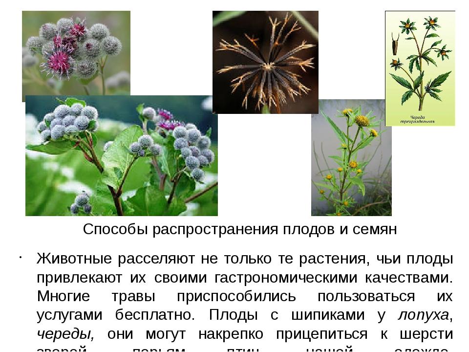 Способы распространения плодов и семян Животные расселяют не только те растен...