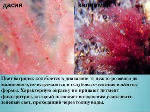 Цвет багрянок колеблется в диапазоне от нежно-розового до малинового, но встр