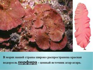 В морях нашей страны широко распространена красная водоросль порфира – ценный