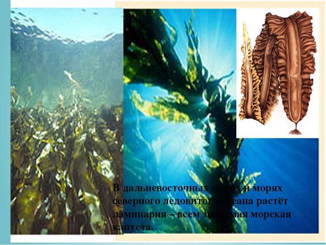 В дальневосточных морях и морях северного ледовитого океана растёт ламинария...