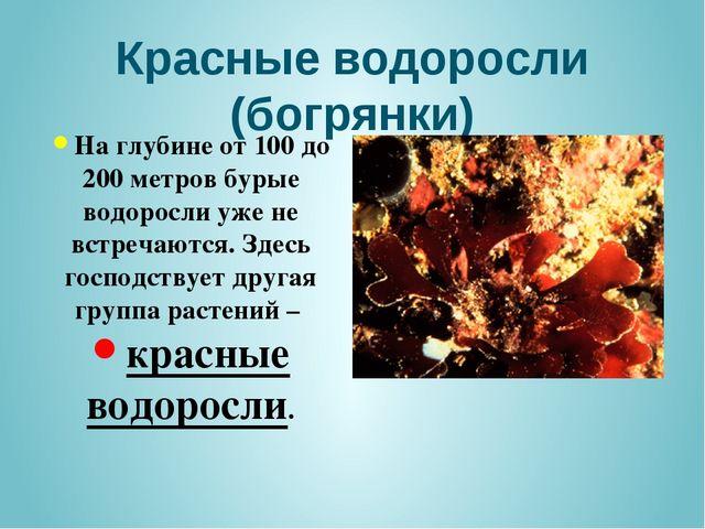 Красные водоросли (богрянки) На глубине от 100 до 200 метров бурые водоросли...
