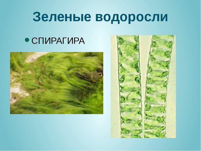 Зеленые водоросли СПИРАГИРА