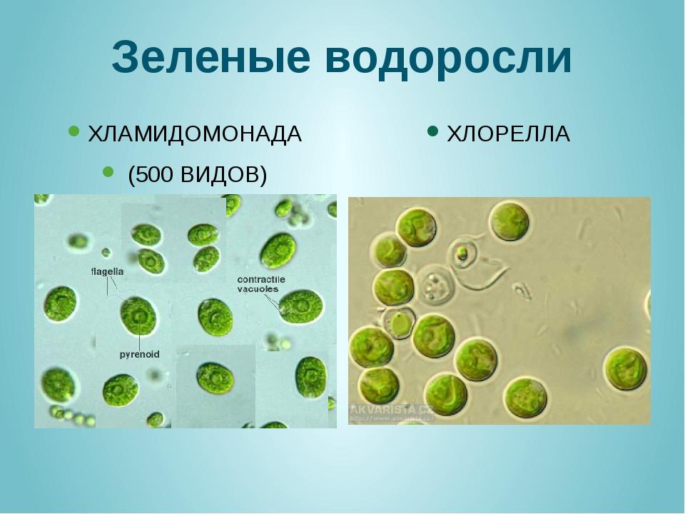 Зеленые водоросли ХЛАМИДОМОНАДА (500 ВИДОВ) ХЛОРЕЛЛА