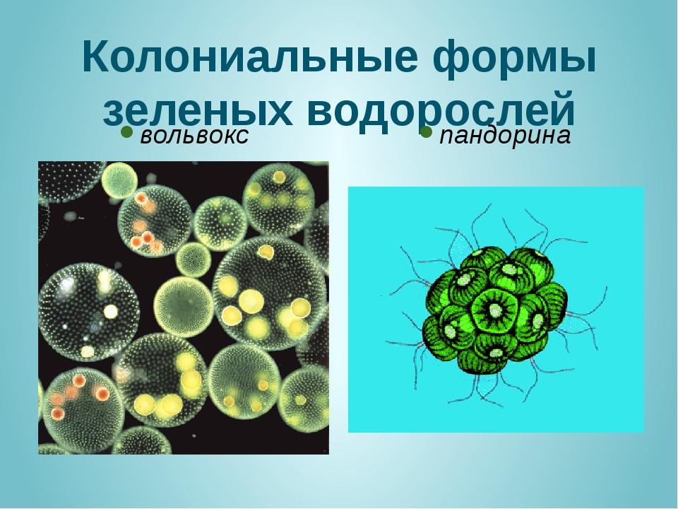 Колониальные формы зеленых водорослей вольвокс пандорина