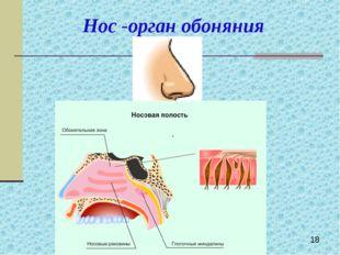 Нос -орган обоняния