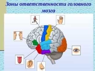 Зоны ответственности головного мозга