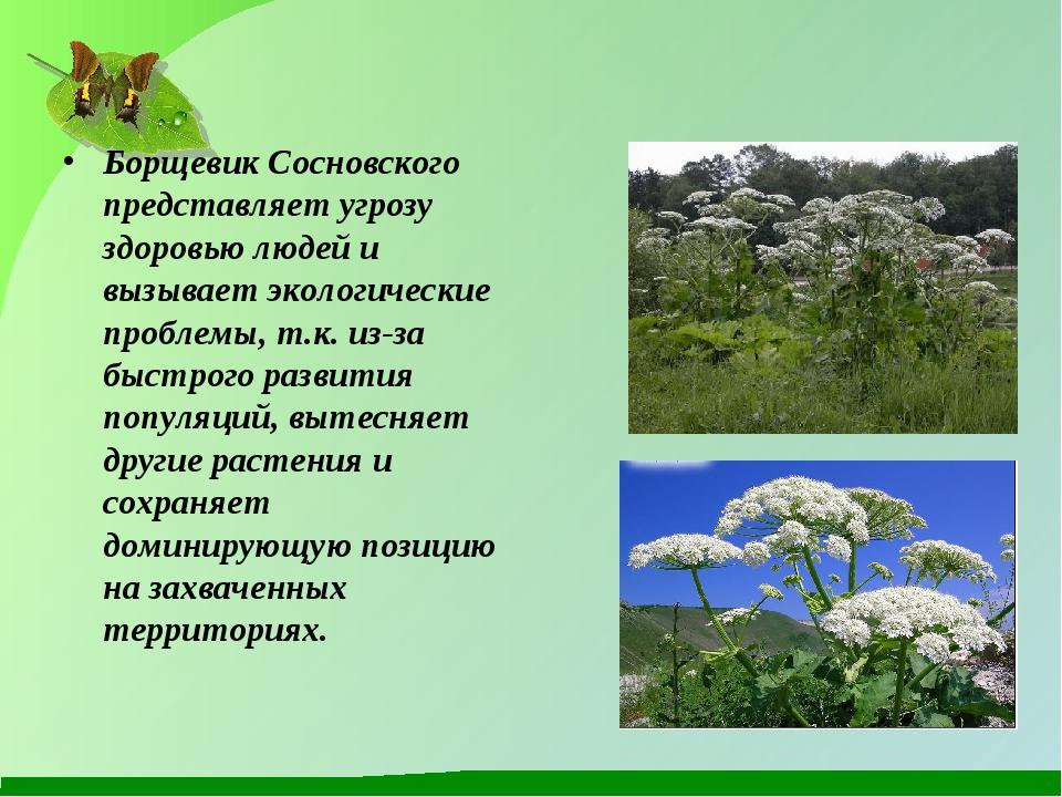 Борщевик Сосновского представляет угрозу здоровью людей и вызывает экологичес...
