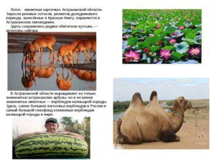 Лотос - «визитная карточка» Астраханской области. Заросли розовых лотосов, р