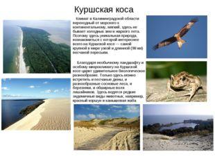 Куршская коса Климат в Калининградской области переходный от морского к конти