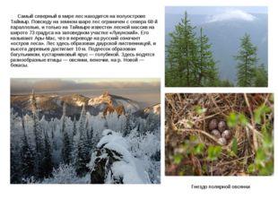 Самый северный в мире лес находится на полуострове Таймыр. Повсюду на земном