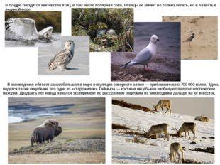 В заповеднике обитает самая большая в мире популяция северного оленя — прибл