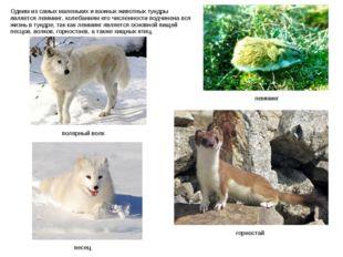 Одним из самых маленьких и важных животных тундры является лемминг, колебания