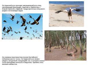По Куршской косе проходит миграционный путь птиц, связывающий Финляндию, Каре
