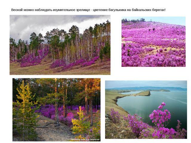 Весной можно наблюдать изумительное зрелище - цветение багульника на байкаль...