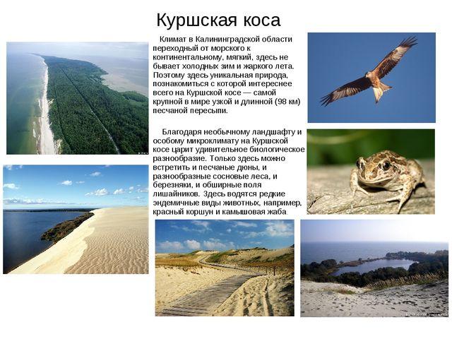 Куршская коса Климат в Калининградской области переходный от морского к конти...