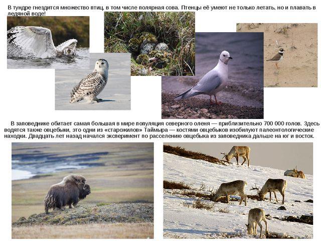 В заповеднике обитает самая большая в мире популяция северного оленя — прибл...