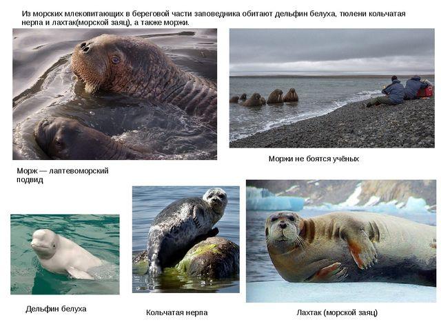Из морских млекопитающих в береговой части заповедника обитают дельфин белуха...