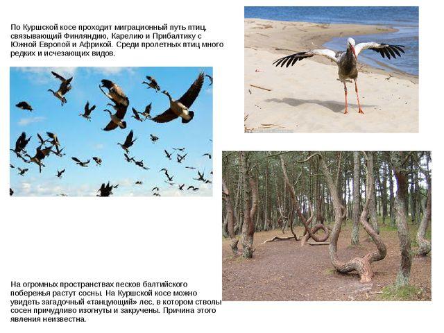 По Куршской косе проходит миграционный путь птиц, связывающий Финляндию, Каре...