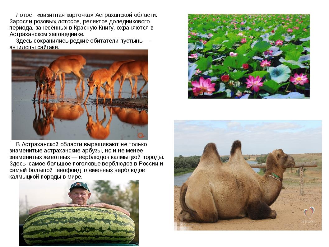 Лотос - «визитная карточка» Астраханской области. Заросли розовых лотосов, р...