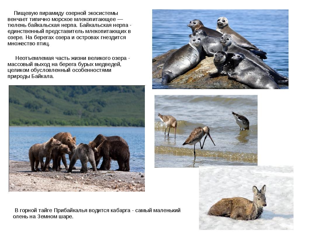 Пищевую пирамиду озерной экосистемы венчает типично морское млекопитающее —...