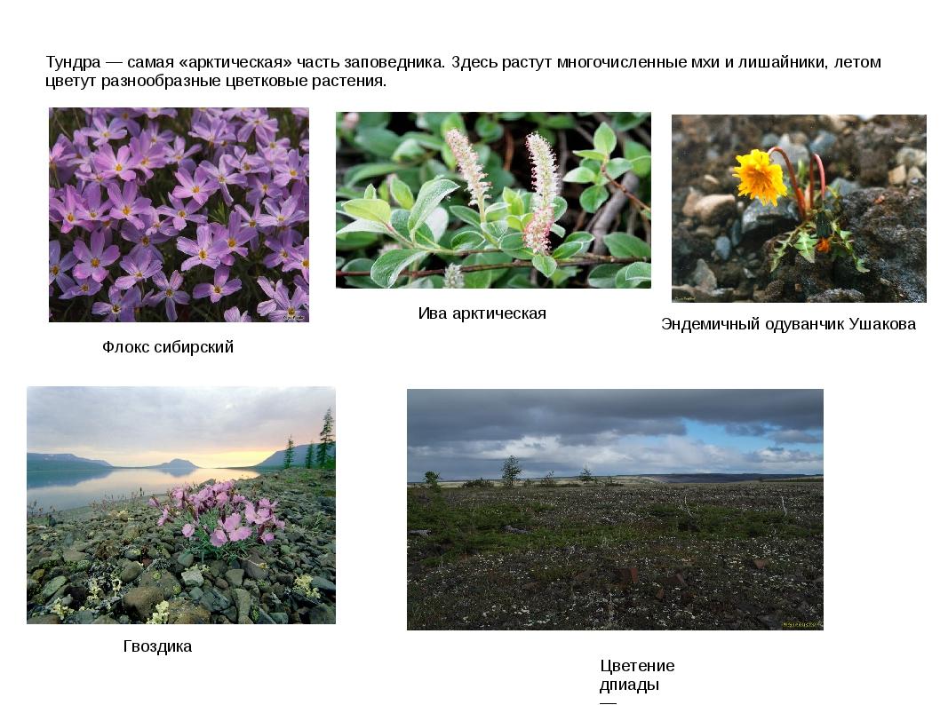 Тундра — самая «арктическая» часть заповедника. Здесь растут многочисленные м...