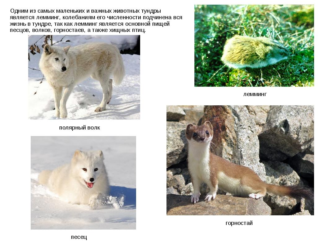 Одним из самых маленьких и важных животных тундры является лемминг, колебания...