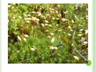 Размножение мхов Бесполое Половое Вегетативное Споровое Частями тела Выводко