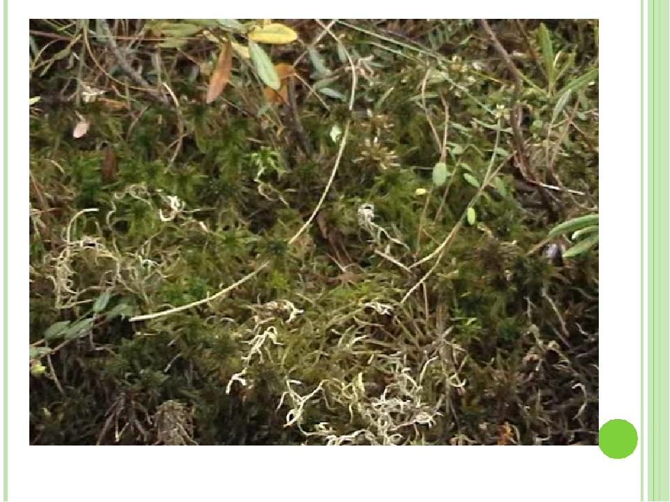 Значение мхов в природе и жизни человека Закисание и заболачивание почв Замен...