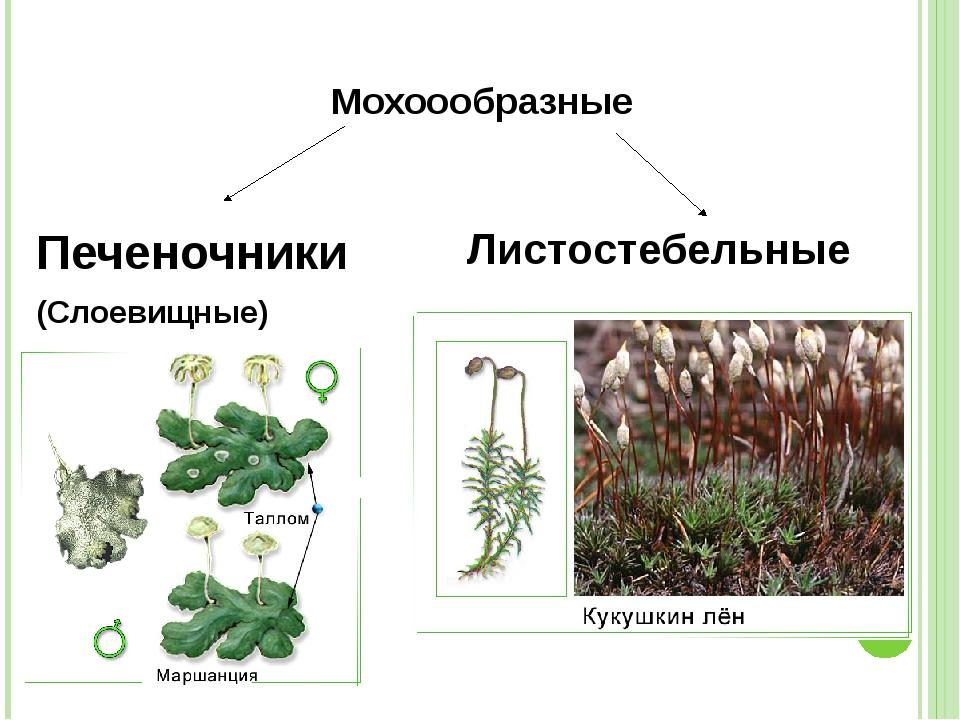 разнообразие мхов с картинками про маты она