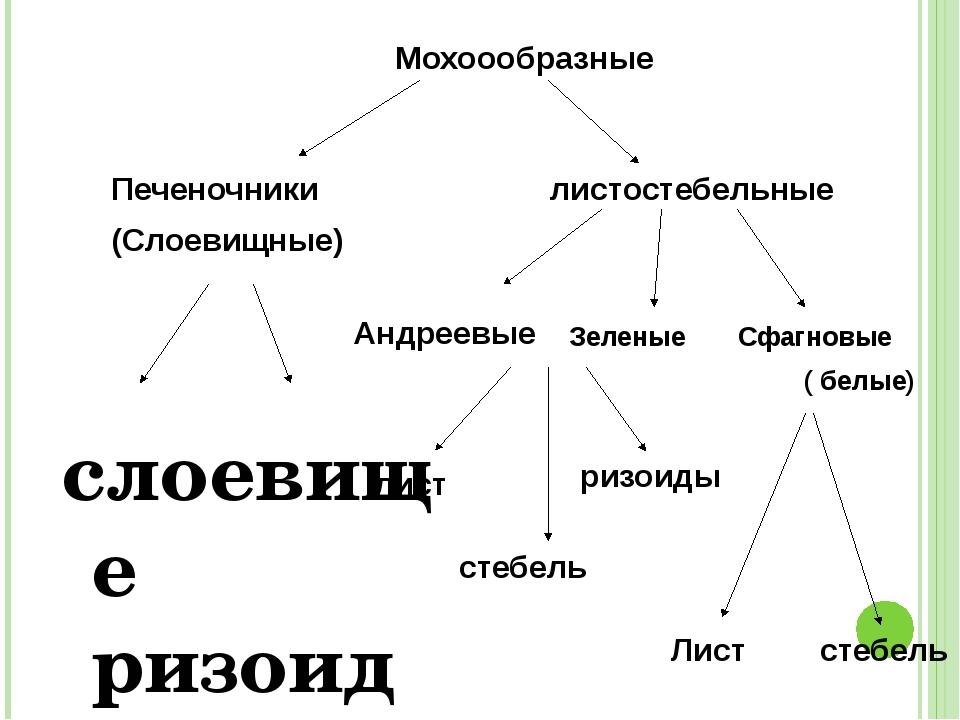 слоевище ризоиды Мохоообразные листостебельные Печеночники (Слоевищные) Зеле...