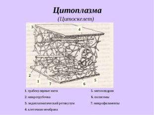 Цитоплазма 1. трабекулярные нити 5. митохондрия 2. микротрубочка 6. полисомы