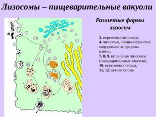 Различные формы лизосом 3. первичные лизосомы, 4. лизосомы, изливающие свое с