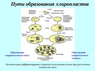 Пути образования хлоропластов Образование хлоропластов на свету Образование х