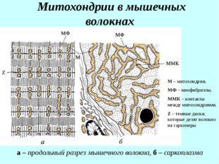 Митохондрии в мышечных волокнах а – продольный разрез мышечного волокна, б –