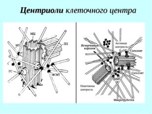 Центриоли клеточного центра