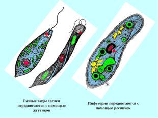 Разные виды эвглен передвигаются с помощью жгутиков Инфузории передвигаются с
