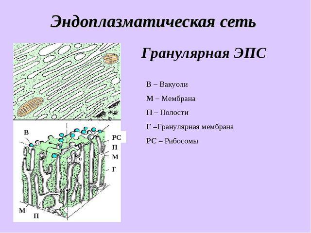 Эндоплазматическая сеть В – Вакуоли М – Мембрана П – Полости Г –Гранулярная м...