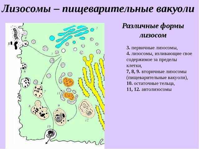 Различные формы лизосом 3. первичные лизосомы, 4. лизосомы, изливающие свое с...