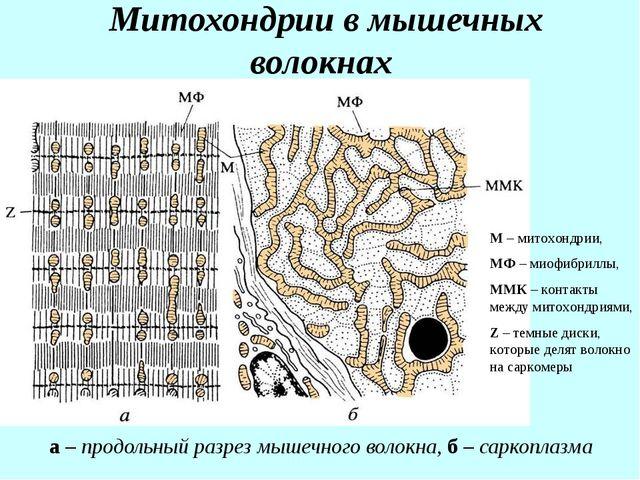 Митохондрии в мышечных волокнах а – продольный разрез мышечного волокна, б –...