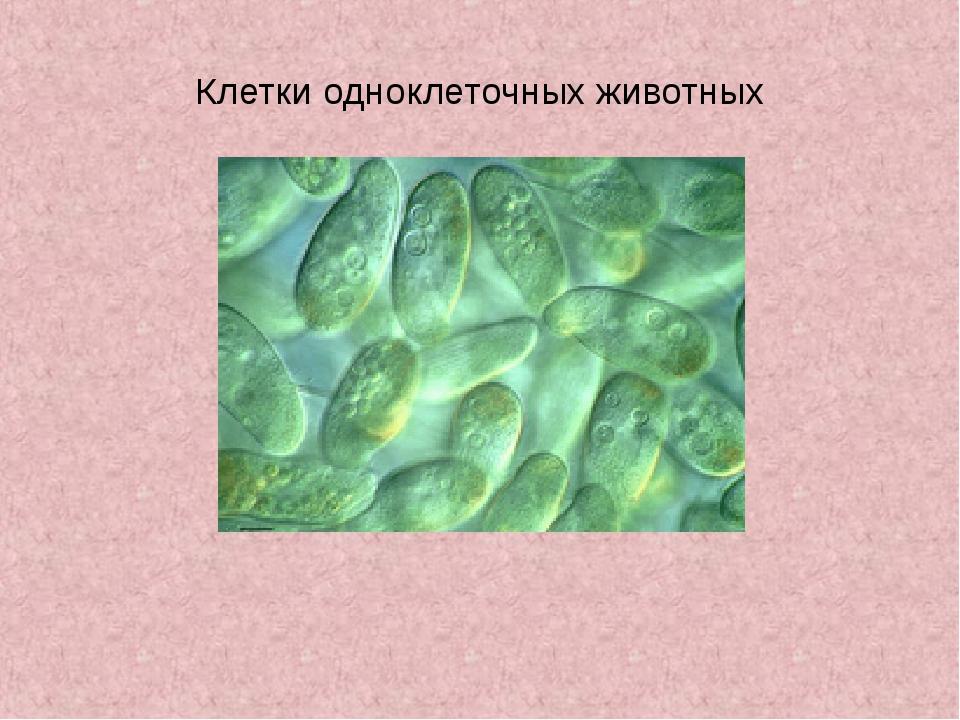 Клетки одноклеточных животных