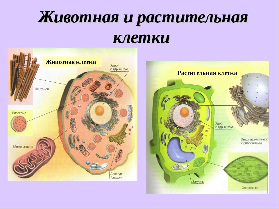 Животная и растительная клетки Животная клетка Растительная клетка