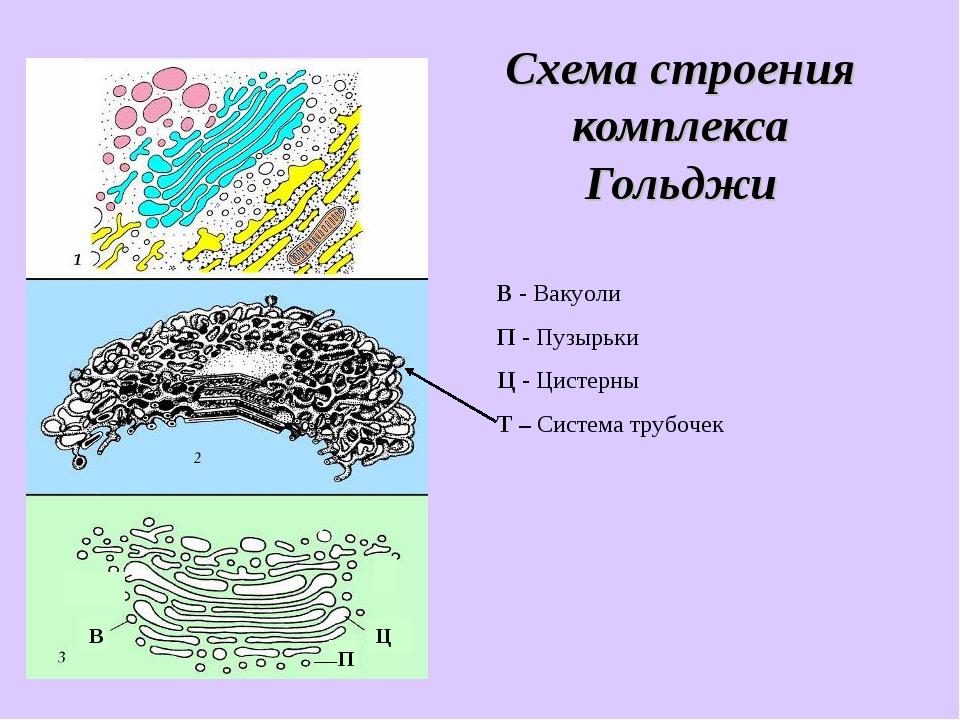 Схема строения комплекса Гольджи В - Вакуоли П - Пузырьки Ц - Цистерны Т – Си...