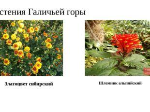 Растения Галичьей горы Златоцвет сибирский Шлемник альпийский