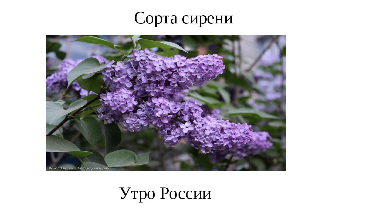 Сорта сирени Утро России