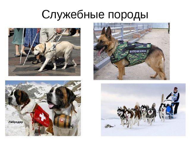 Служебные породы Овчарка Лабродор