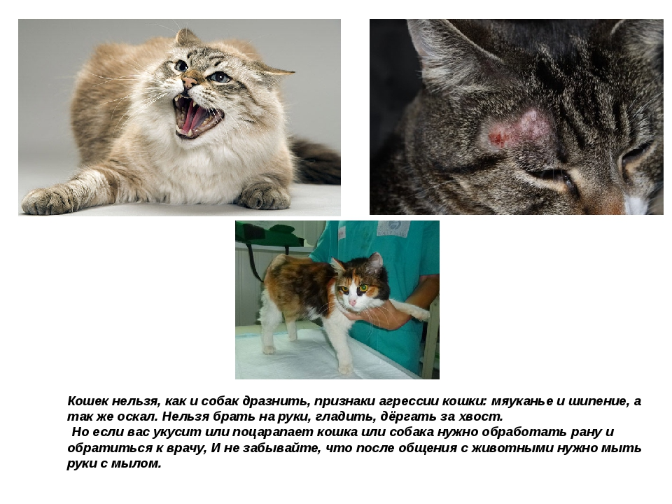 Кошек нельзя, как и собак дразнить, признаки агрессии кошки: мяуканье и шипен...