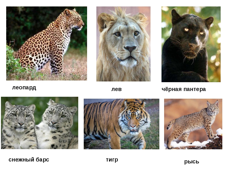 леопард лев чёрная пантера снежный барс тигр рысь