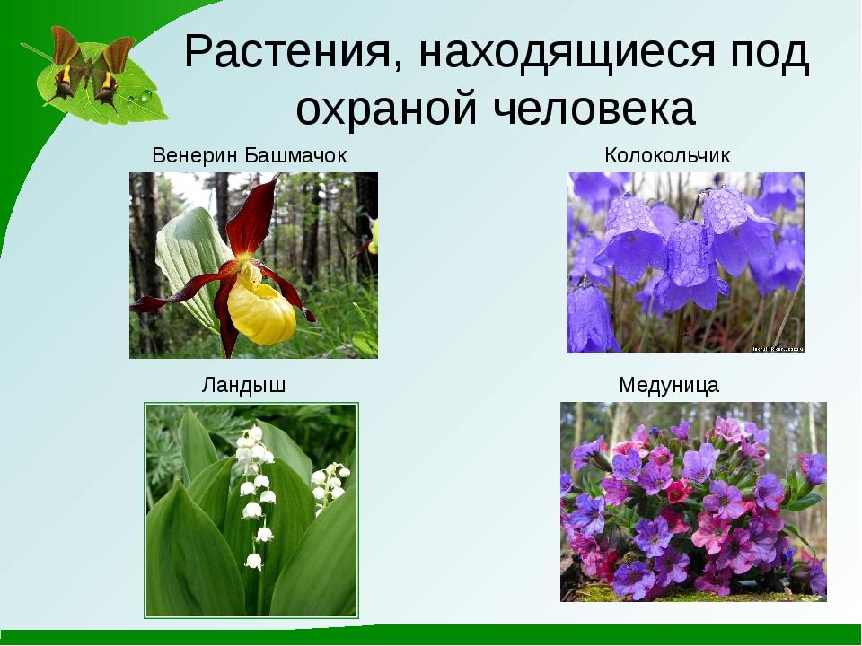 Растения, находящиеся под охраной человека Венерин Башмачок Ландыш Колокольчи...